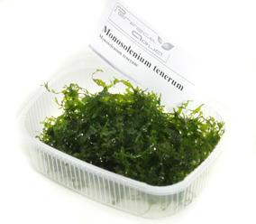 Monosolenium tenerum - Monosolenium tenerum, PerfectAqua