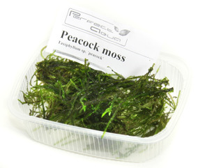 Peacock moss - Peacock Moss, PerfectAqua