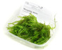Weeping moss - Weeping moss, PerfectAqua