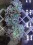 WYSIWYG- Catalophyllis jardinei. - WYSIWYG- Catalophyllia jardinei- Elegance coral.