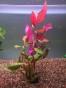 Althernanthera cardinalis