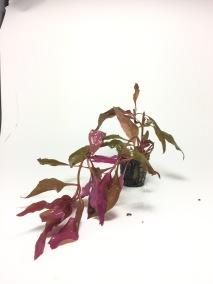 Althernanthera cardinalis - Althernanthera cardinalis