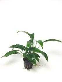 Anubias congoensis - Anubias congoensis