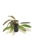 Echinodorus rubin - Echinodorus rubin