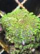 WYSIWYG- Riccordea, grön/gul, flouroserande