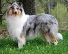 Bluemerle Colliehane