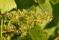 vindruvs blomma