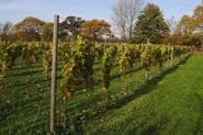 Höst i vingården