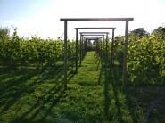 Sommar i vingården