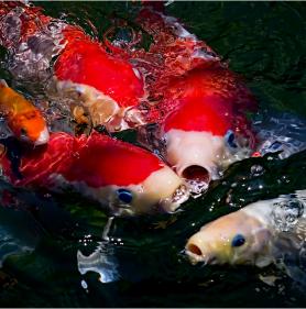 Känner du igen dessa firrar? Du hittar dom bl.a på asiatiska restauranger. Det är en KOI fisk och växer olika beroende på uppväxtmiljö precis som våra medarbetare.