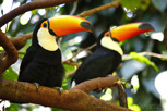 Toco Toucan at the Parque Das Aves, Foz do Iguacu