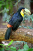 Toca Toucan at the Parque Das Aves, Foz do Iguacu