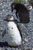 Penguins at Beagle Channel, Ushuaia