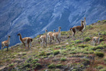 Guanacos at Torres del Paine, Patagonia