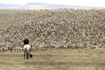 A guacho herding sheep, Patagonia