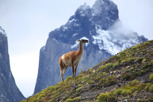 Guanaco at Torres del Paine, Patagonia