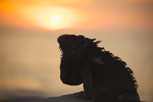 Iguana at sunset, Aruba