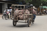 Pig transportation, Siem Reap