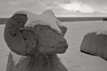Concrete sheep during winter, Gotland