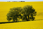 Rapeseed fields in the county of Scania