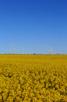 Rapeseed fields, Tågarp