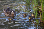 Mallard with chicks, Jutland