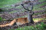 Deer, Jutland