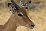 Impala, Tarangire National Park