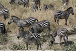 Zebras, Tarangire National Park
