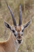 Thomson gazelle, Serengeti National Park