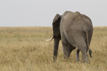 Elephant, Serengeti National Park