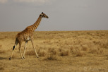 Giraffe, Serengeti National Park