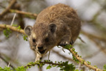 Rock Hyrax, Serengeti National Park