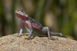 Common Agama, Serengeti National Park