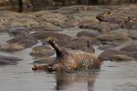 Dead hippopotamus, Serengeti National Park