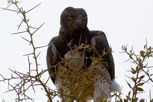 Martial Eagle, Serengeti National Park
