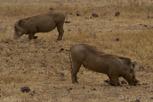 Warthog, Ngorongoro Crater