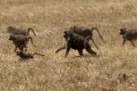 Baboons, Ngorongoro Crater