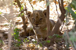 Lion cub, Ngorongoro Crater