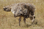 Ostrich, Ngorongoro Crater