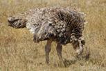 Ostrich, Ngorongoro Crater