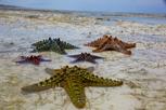Starfish, Zanzibar