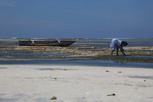 Woman fishing during low tide, Zanzibar