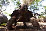 Giant tortoise, Prison Island