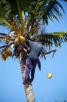 Coconut palm, Zanzibar