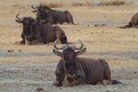Wildebeests resting in the Ngorongoro Crater