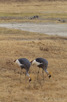 Crowned Cranes, Ngorongoro Crater
