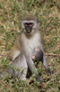 Vervet monkey with baby, Lake Manyara National Park