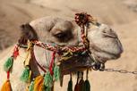 Camel, Dead Sea