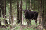 The mighty moose, Småland